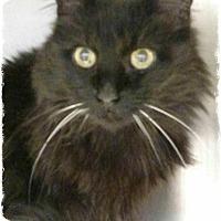 Adopt A Pet :: Menorah - Pueblo West, CO