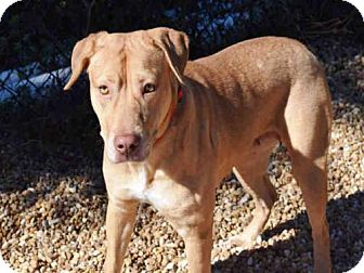 American Pit Bull Terrier Mix Dog for adoption in Jacksonville, Florida - MIAMI