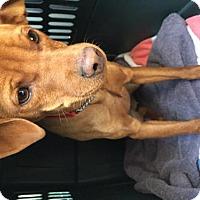Adopt A Pet :: Laine - Northbrook, IL