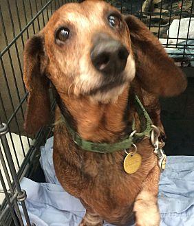 Dachshund Dog for adoption in Oak Ridge, New Jersey - Farley