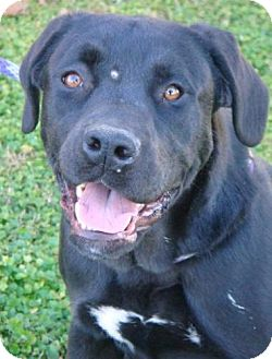 Labrador Retriever/Boxer Mix Dog for adoption in Red Bluff, California - Honeycutt