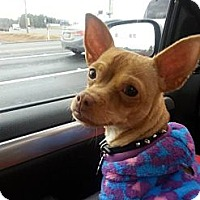 Chihuahua Dog for adoption in Lawrenceville, Georgia - Shannon