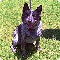 Adopt A Pet :: Ruger (adoption pending) - Phoenix, AZ