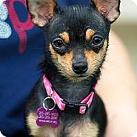 Adopt A Pet :: Georgette - San Antonio, TX