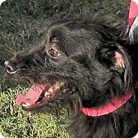Scottie, Scottish Terrier/Miniature Schnauzer Mix Dog for adoption in Winnsboro, South Carolina - Scottie