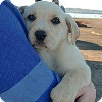Adopt A Pet :: Walt - Huntsville, AL