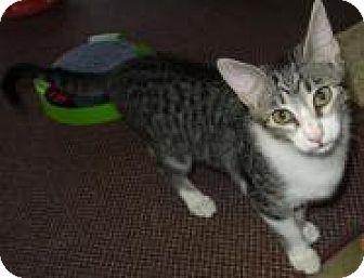 Domestic Mediumhair Kitten for adoption in Deer Park, Texas - Tabatha