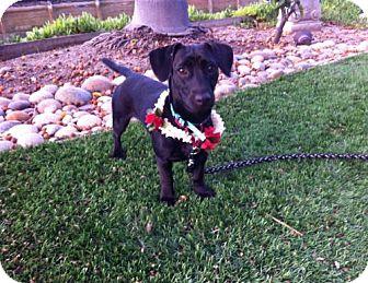 Dachshund/Labrador Retriever Mix Dog for adoption in Woonsocket, Rhode Island - Sally - Northern California