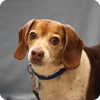 Beagle Dog for adoption in Naperville, Illinois - Oscar