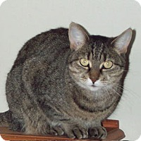 Domestic Shorthair Cat for adoption in Verdun, Quebec - Janis Joplin