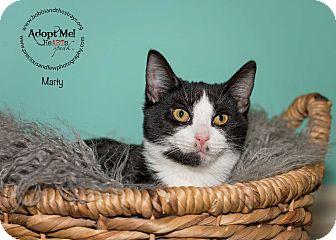 Domestic Shorthair Kitten for adoption in Freeport, New York - Marty