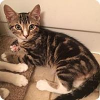 Domestic Shorthair Kitten for adoption in Bulverde, Texas - Taco