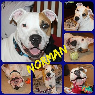American Bulldog/Labrador Retriever Mix Dog for adoption in Ft Worth, Texas - Norman