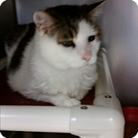 Domestic Shorthair Cat for adoption in Chippewa Falls, Wisconsin - Patches
