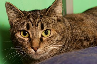 Domestic Shorthair Cat for adoption in Columbus, Ohio - Topaz