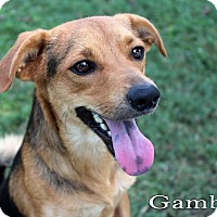 Terrier (Unknown Type, Small) Mix Dog for adoption in Texarkana, Arkansas - Gambler