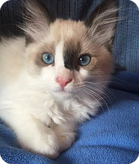 Ragdoll Kitten for adoption in Cerritos, California - Rigby