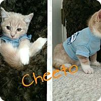 Adopt A Pet :: Cheto - Irwin, PA