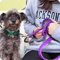Adopt A Pet :: Toto - Whitehall, PA