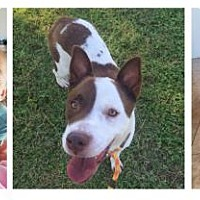 Australian Cattle Dog Mix Dog for adoption in Tucson, Arizona - Perdie
