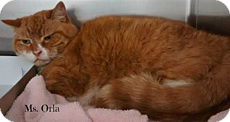 Domestic Shorthair Cat for adoption in Spring Brook, New York - Orla
