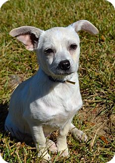 Chihuahua/Cattle Dog Mix Puppy for adoption in Westport, Connecticut - *Ren - PENDING