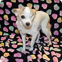Adopt A Pet :: Haddie - Arlington/Ft Worth, TX