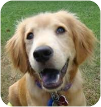 Golden Retriever Mix Puppy for adoption in Scottsdale, Arizona - Levi