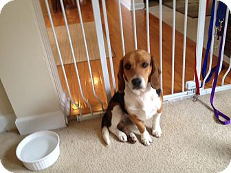 Beagle Mix Dog for adoption in Alexandria, Virginia - Clover