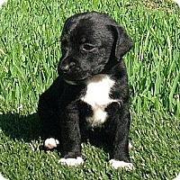 Adopt A Pet :: Chip - La Habra Heights, CA