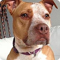 Adopt A Pet :: Maggie Mae - 47 lbs! - Bellflower, CA