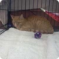 Domestic Shorthair Cat for adoption in Alamo, California - Tiger