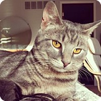 Domestic Shorthair Cat for adoption in Gibbstown, New Jersey - Moonshadow