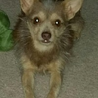 Terrier (Unknown Type, Small) Mix Dog for adoption in Las Vegas, Nevada - Scrappy