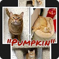 Adopt A Pet :: Pumpkin - Arlington/Ft Worth, TX