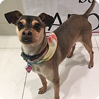 Terrier (Unknown Type, Medium)/Italian Greyhound Mix Dog for adoption in Los Angeles, California - SCOUT
