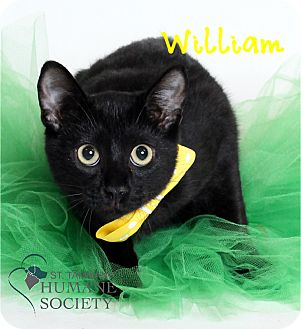 Domestic Shorthair Kitten for adoption in Covington, Louisiana - William