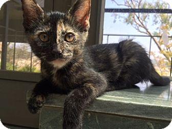 Domestic Shorthair Kitten for adoption in Los Angeles, California - Lorelai