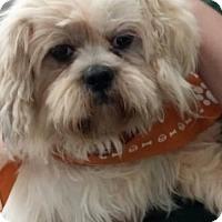 Adopt A Pet :: Murphy Calm and Gentle Boy - Rowayton, CT