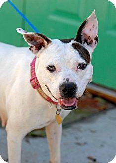 American Staffordshire Terrier Mix Dog for adoption in Pottsville, Pennsylvania - Medussa