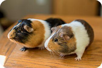 Guinea Pig for adoption in Manhattan, Kansas - Atticus & Draco