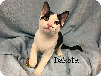 Domestic Shorthair Cat for adoption in Foothill Ranch, California - Dakota