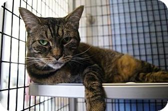Domestic Shorthair Cat for adoption in New Milford, Connecticut - Milly