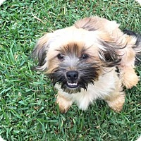 Shih Tzu/Yorkie, Yorkshire Terrier Mix Dog for adoption in Lindale, Texas - Pocus