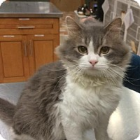 Domestic Mediumhair Cat for adoption in Colfax, Illinois - Thomas