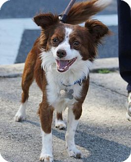 Chihuahua Dog for adoption in Kennesaw, Georgia - Ringo