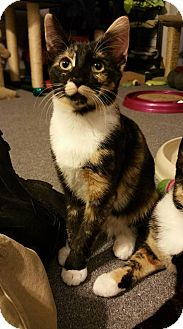 Domestic Shorthair Kitten for adoption in Virginia Beach, Virginia - Kiwi