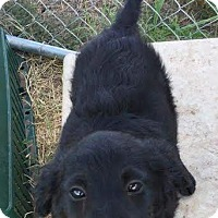 Labrador Retriever Mix Puppy for adoption in Mesa, Arizona - TOPAZ