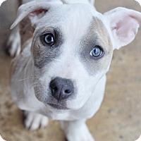 Adopt A Pet :: Reagan - College Station, TX