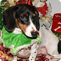 Adopt A Pet :: Picasso, 6 yrs, piebald, $350 - Spokane, WA